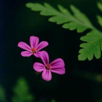 Кровавый Тростник Дракона (Geranium robertianium)